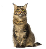 Maine Coon sitting and looking away Stock Photography