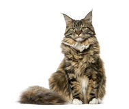Maine Coon sitting and looking away, isolated Stock Photos