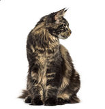 Maine Coon sitting and looking away isolated on white Royalty Free Stock Photo