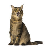 Maine Coon sitting and looking. Isolated on white Royalty Free Stock Photo
