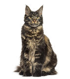 Maine Coon sitting and looking up isolated on white Royalty Free Stock Photography
