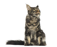 Maine Coon sitting, looking up, 9 months old Royalty Free Stock Images
