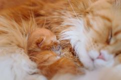 Maine-coon, a small red-haired kitten, sleeps with his mother stock images
