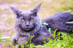 Maine coon 1 Stock Image