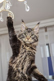 Maine Coon stands on his hind legs and lifts his paw up. Royalty Free Stock Photography