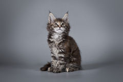 Maine Coon sur un fond gris Photo libre de droits