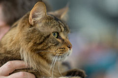Maine Coon taby Image stock
