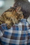 Maine Coon taby Royalty Free Stock Photo