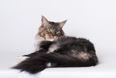 Maine Coon Tomcat. Impressive maine coon cat lying on white background Stock Photography