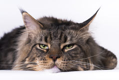 Maine Coon Tomcat Stock Photos