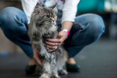 Maine Coon tortoiseshell. Cat between the owner`s knees Royalty Free Stock Image