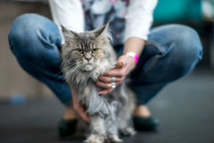 Maine Coon tortoiseshell. Cat between the owner`s knees Royalty Free Stock Photography