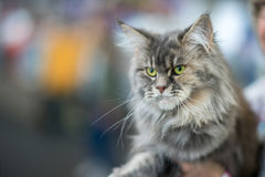 Maine Coon tortoiseshell. Grey - Owner`s frame Stock Photography