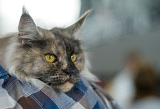 Maine Coon tortoiseshell. Owner`s frame Royalty Free Stock Images