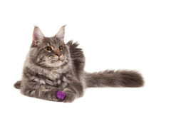 Maine coon with toy Royalty Free Stock Photo