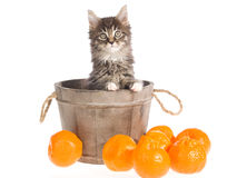 Maine Coon in vat with fruit Royalty Free Stock Photo
