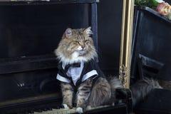 Maine Coon w smokingu na czarnym pianinie Fotografia Royalty Free