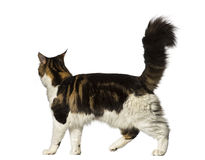 Maine Coon walking away Stock Photo