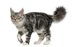 Maine Coon walking Stock Image