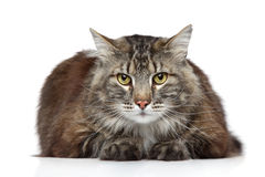 Maine Coon on a white background Royalty Free Stock Image