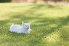 Maine Coon white cat in the wild Royalty Free Stock Image