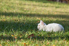 Maine Coon white cat in the wild Stock Image