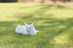 Maine Coon white cat in the wild Royalty Free Stock Images