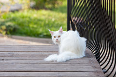 Maine Coon white cat in the wild Stock Images