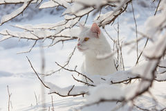 Maine Coon white cat in the wild snow Royalty Free Stock Images