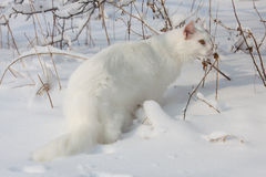Maine Coon white cat in the wild snow Stock Image