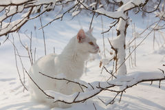 Maine Coon white cat in the wild snow Royalty Free Stock Image
