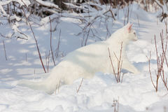 Maine Coon white cat in the wild snow Royalty Free Stock Photos