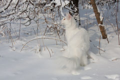 Maine Coon white cat in the wild snow Royalty Free Stock Photography
