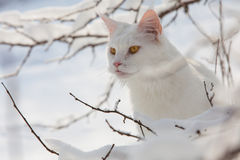 Maine Coon white cat in the wild snow Stock Photo