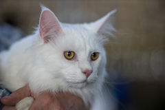 Maine Coon white Stock Image