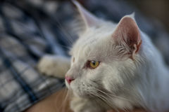 Maine Coon white Royalty Free Stock Images