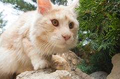 Maine Coon in wide angle view Royalty Free Stock Photography