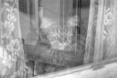 Maine Coon In Window Arkivbild