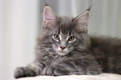 Maine Coon young gray cat in a lying pose. Portrait of a kitten with natural lighting blurred background stock photo