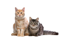 Maine Coone and Norwegian Forest cat Royalty Free Stock Photos