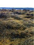 Maine gałęzatki wybrzeże Fotografia Royalty Free