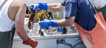 Maine hummer som är sorterat till salu på ett fartyg arkivfoton
