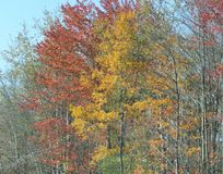 Maine leaves in fall Stock Image