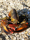 Maine Live Lobster with Crushed Stone on a Beach Stock Photos