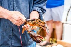 Maine Lobster Boat-Demo, wie-zum Fang und zum Bandhummer von der Falle, Handhummer stockfotografie