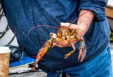 Maine Lobster Boat-Demo, wie-zum Fang und zum Bandhummer von der Falle, Handhummer lizenzfreie stockbilder
