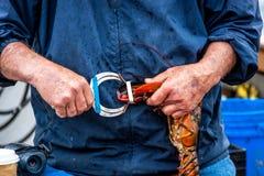 Maine Lobster Boat-Demo, wie-zum Fang und zum Bandhummer von der Falle, Handhummer stockfotos