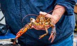 Maine Lobster Boat-Demo, wie-zum Fang und zum Bandhummer von der Falle, Handhummer stockbild