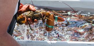 Maine lobster close up in lobstermans hand Royalty Free Stock Image