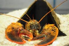 Maine Lobster - führen Sie die Butter Stockfoto